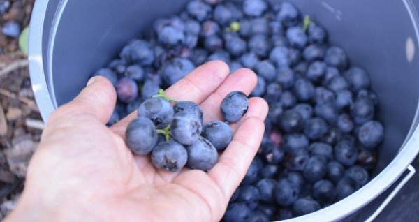 Where to Enjoy Blueberries in Orlando this Spring