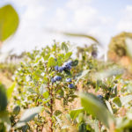 U-Pick Blueberry Farms Open for an Outdoorsy Date